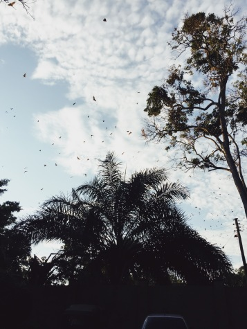 Oh. look at all of those nice birds. Just kidding, they're bats -- swarms and swarms of them.