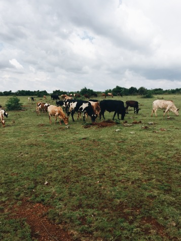 We came across these cows. The herder was singing to them. I felt like I stepped back in time.